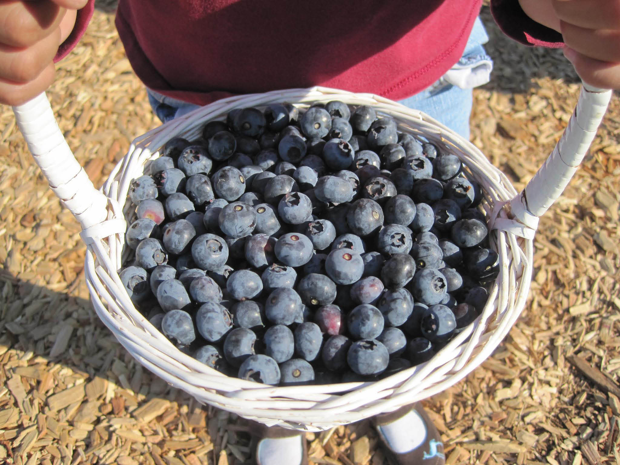 A basket full of delicious blueberries at Mountainview Blueberry Farm in Snohomish, Washington - u-pic blueberries