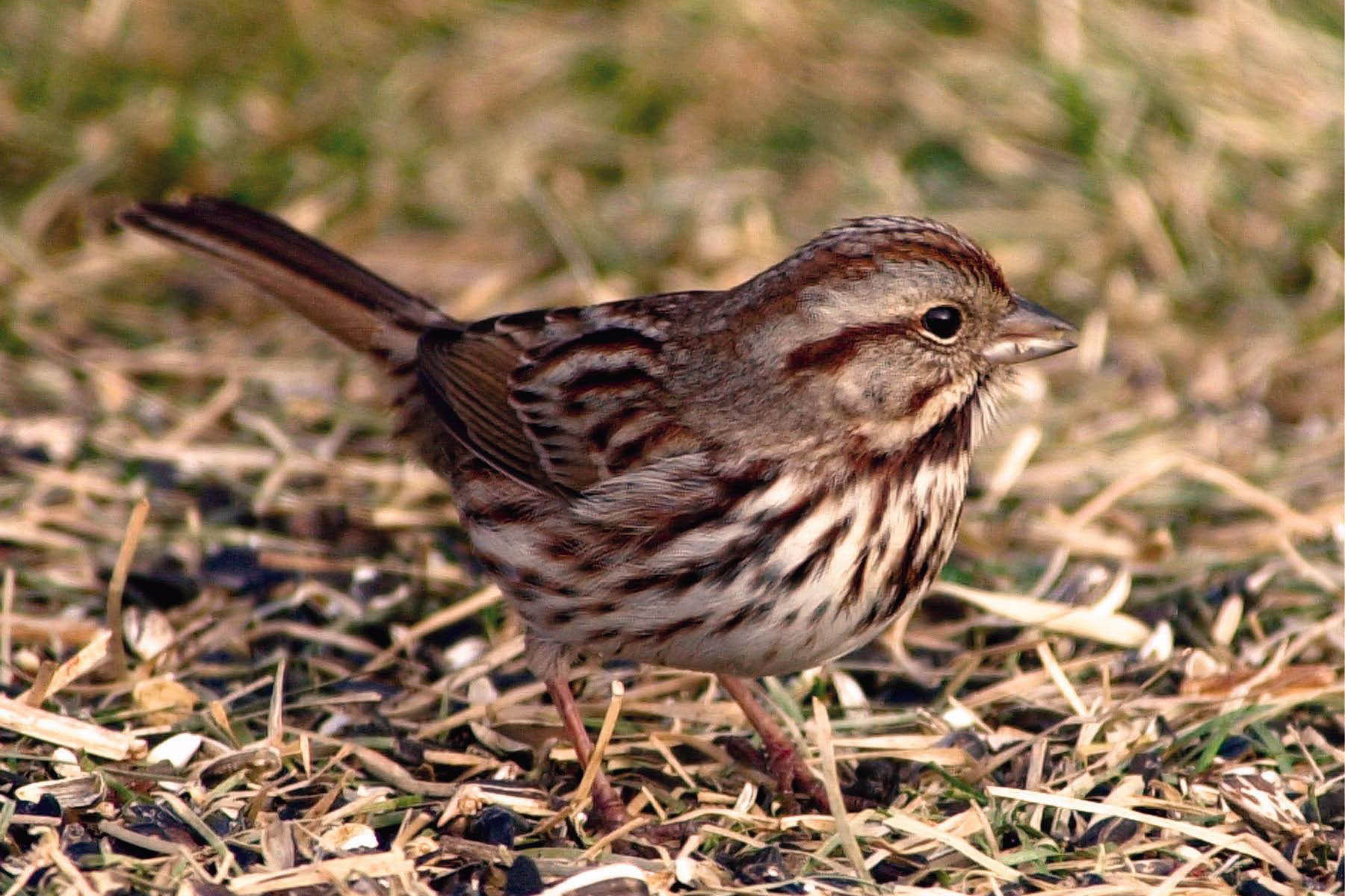 Song sparrows love our birdseed blends