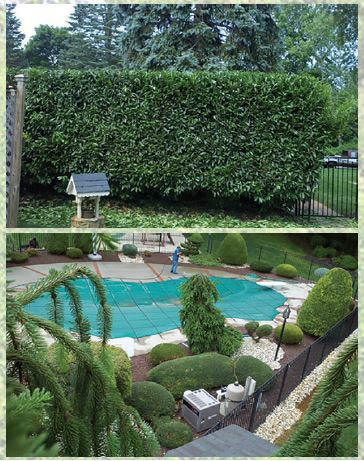 Hedge pruning - landscape design - professional landscape design - landscape installation - MG Landscape - Tacoma, WA