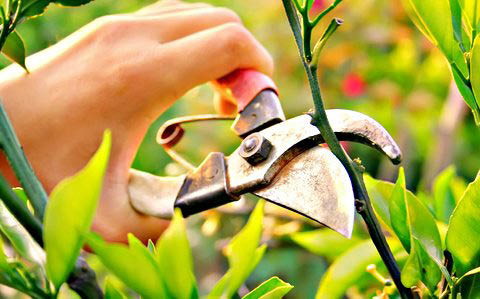 Vinny's Gardening Service - pruning of bushes - pruning of plants - pruning of trees - landscaping company in Kent, WA