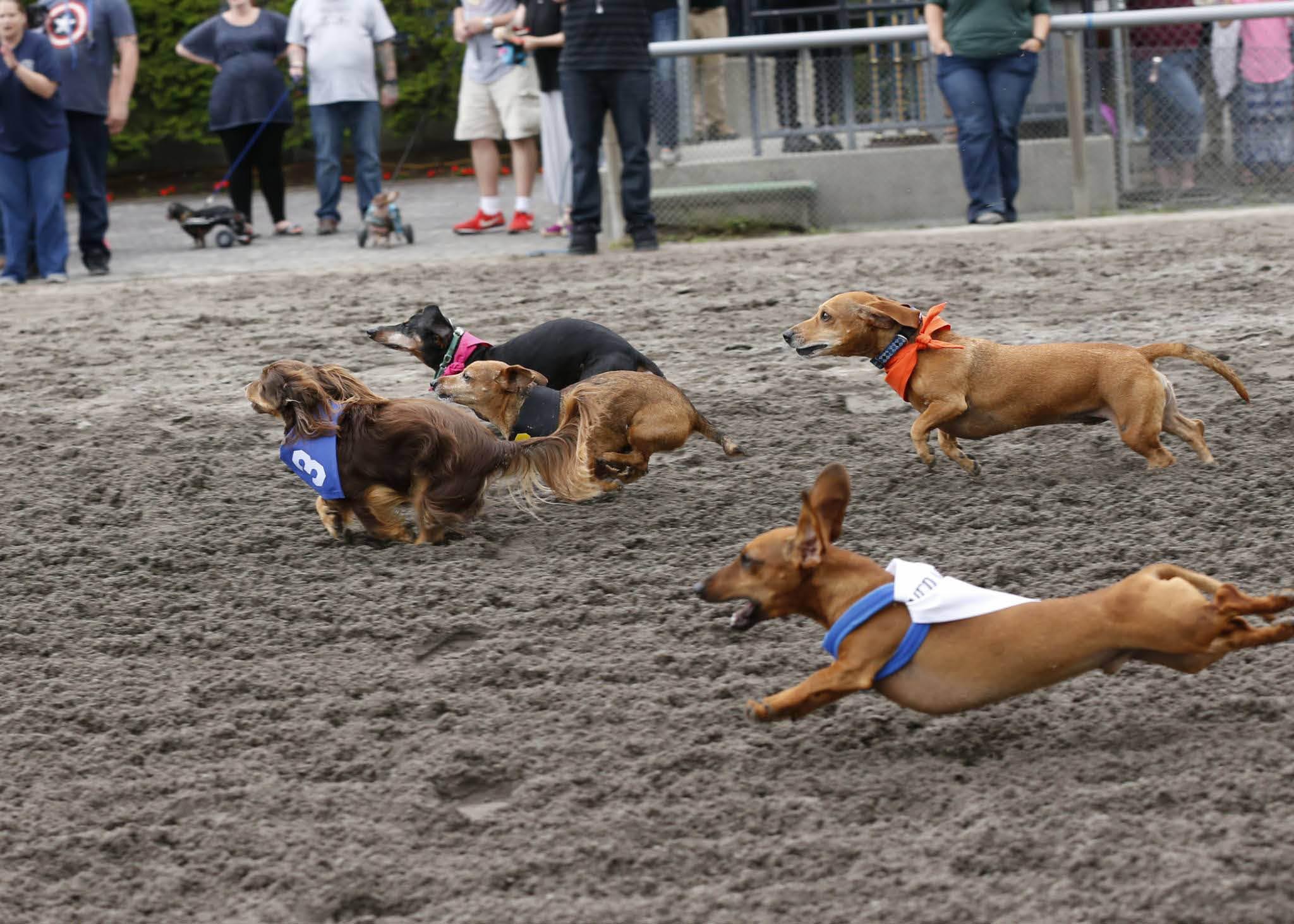 Wiener dog races at Emerald Downs in Auburn, Washington