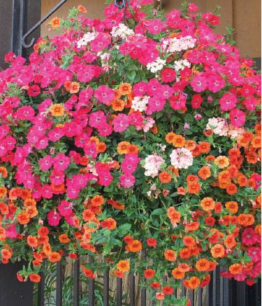 Wight's in Lynnwood has a huge selection of hanging baskets