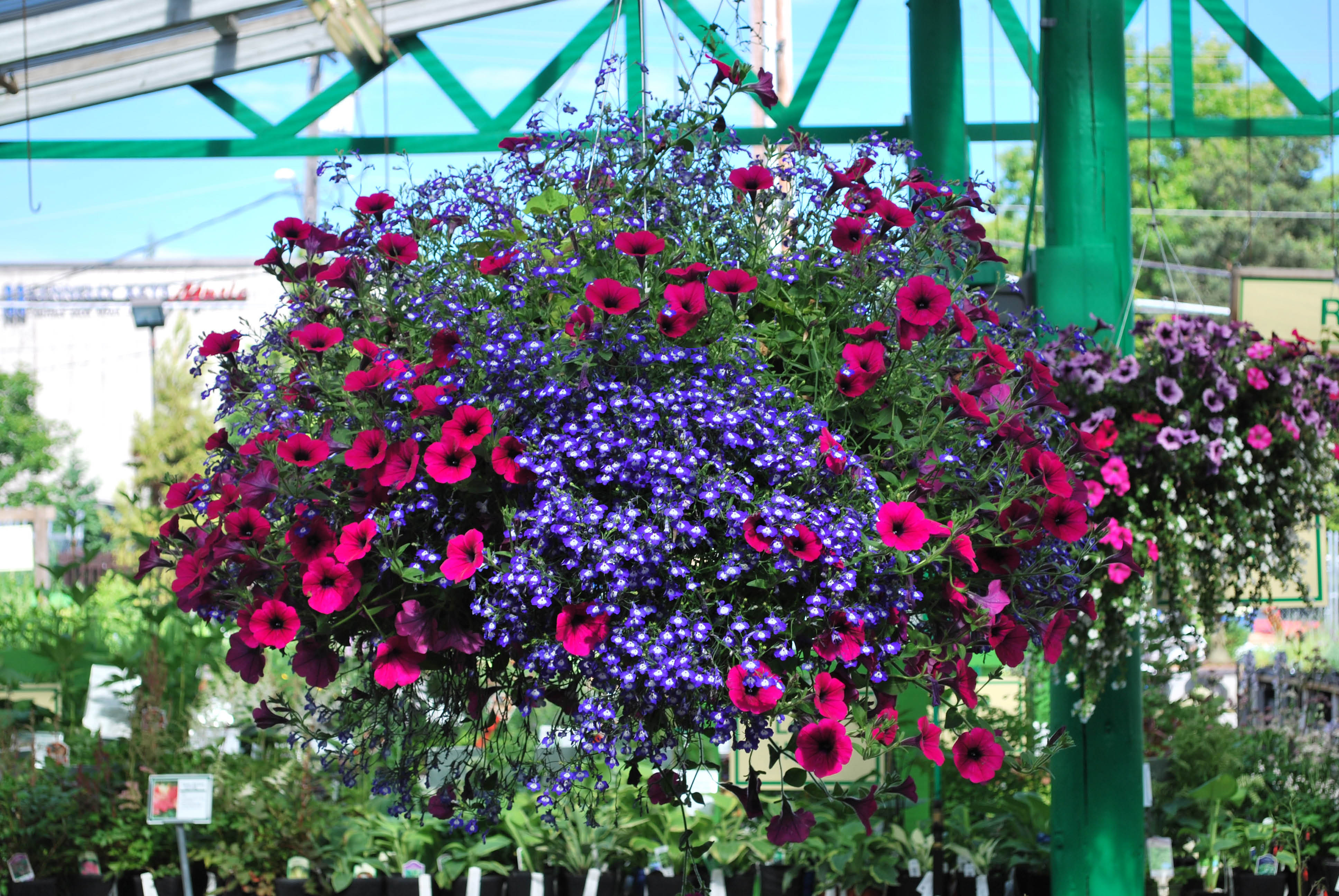 Wight's in Lynnwood has a huge selection hanging baskets - gifts for Valentine's Day- Lynnwood, WA