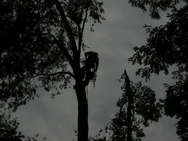 Tree trimming, tree thinning, tree pruning serving Alexandria, Arlington, Falls Church, Springfield, Lorton, Fairfax, VA