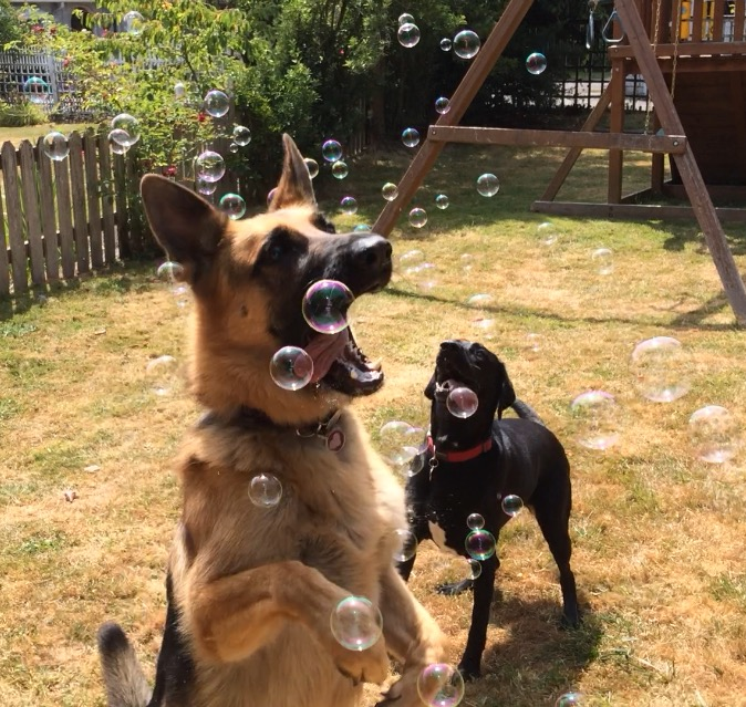 We will walk your dog - dogs playing and having fun - Zen Dog Walking - Seattle, WA - dog walkers - dog walking coupons in Seattle