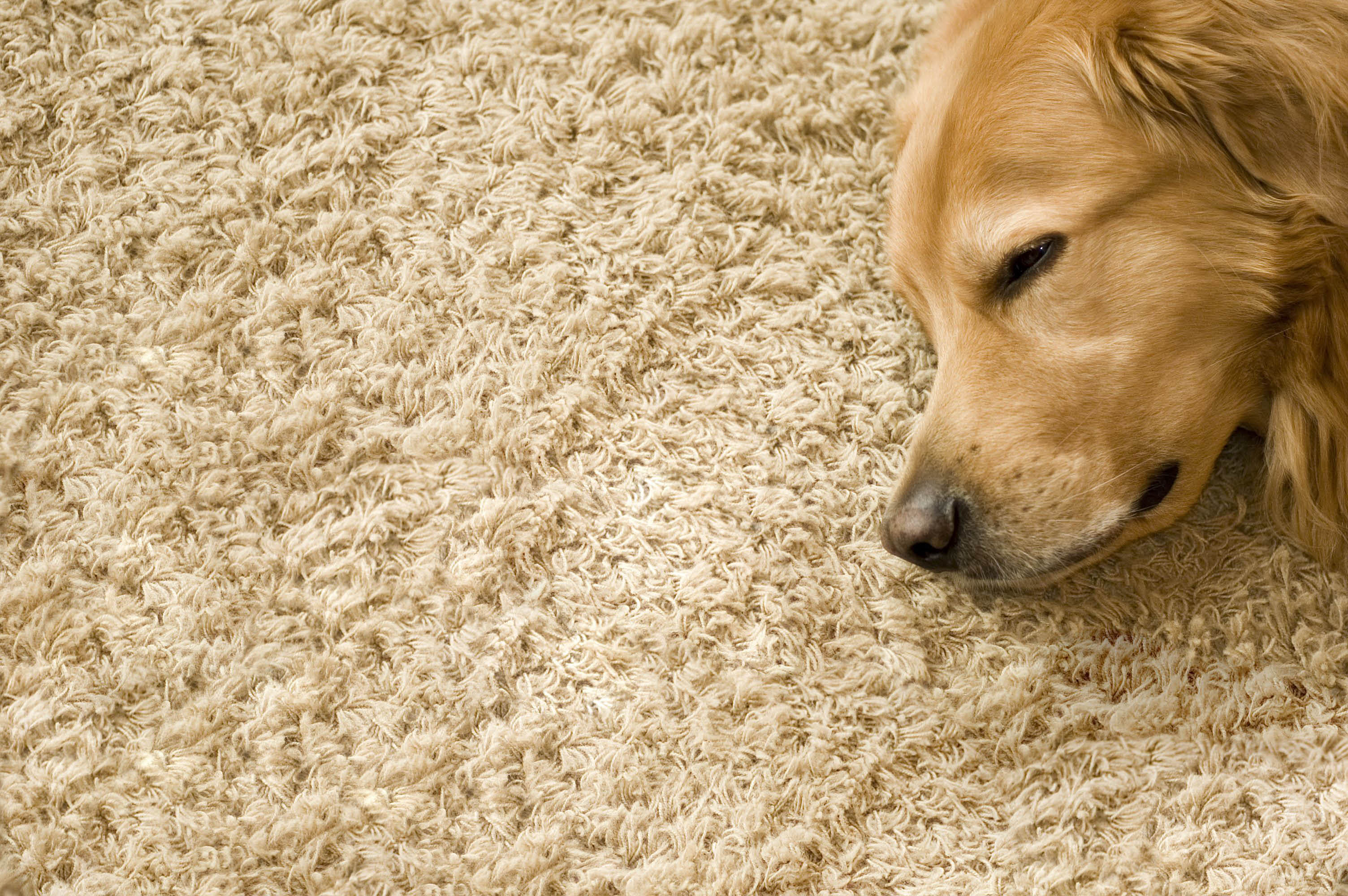 Carpet cleaning, pet odor, Kahala