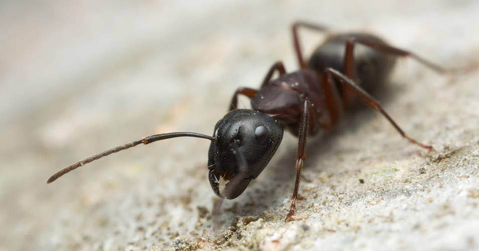ant exterminators; ant pest control; Anderson Pest Solutions