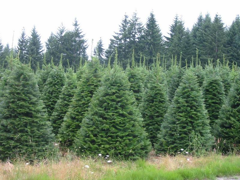 Beautiful Georgia Christmas trees