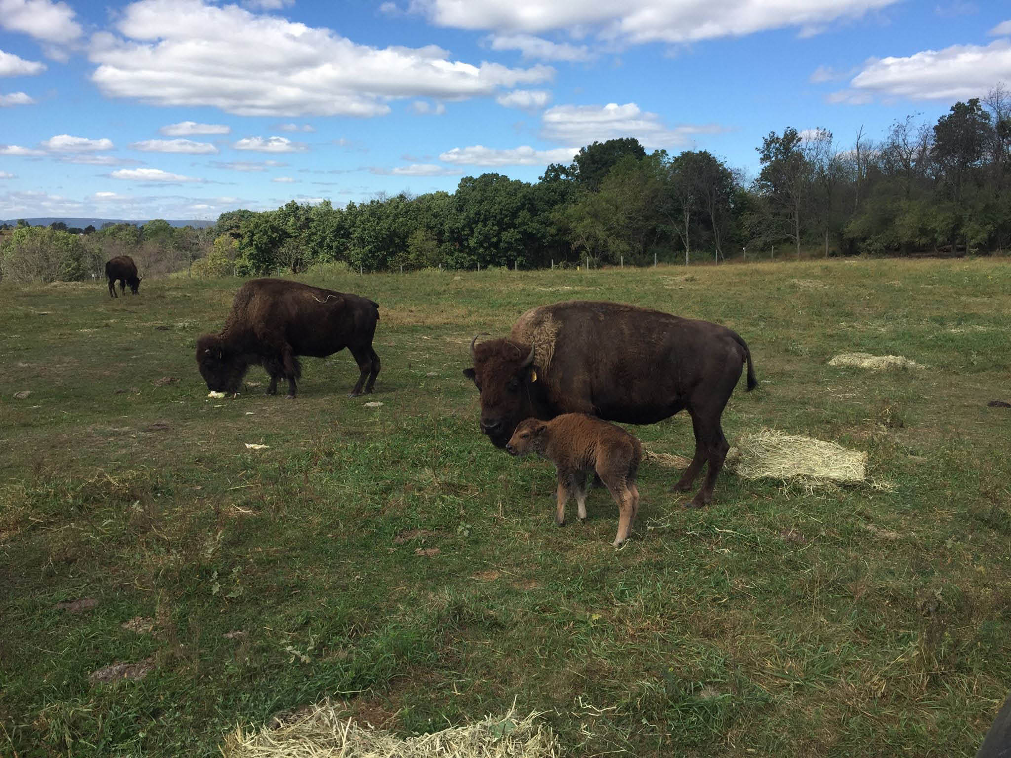 resident bison of the lehigh valley zoo, in schnecksville pennsylvania