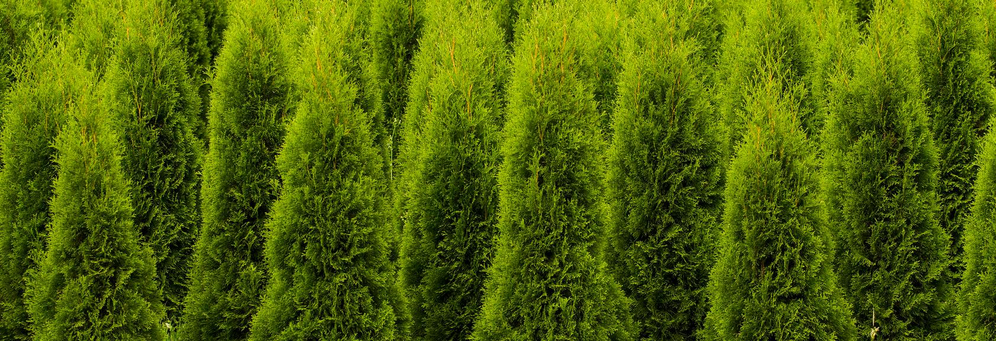 Evergreen Nursery Christmas Trees