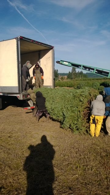Freshly delivered, all natural, plantation grown pine Christmas trees