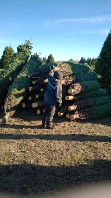 Choose your holiday tree from our wide selection of freshly cut pines