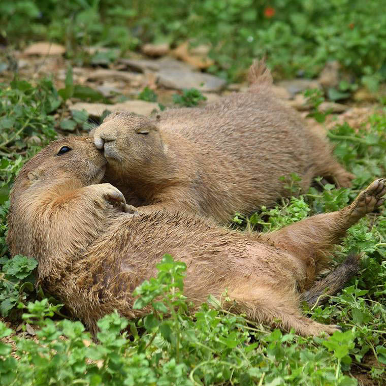 Groundhogs kissing at the lv zoo