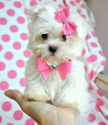 Miniature white Shih Tzu puppy with pink ribbons sitting on a person's hand; Racine pet store; Milwaukee pet supplies
