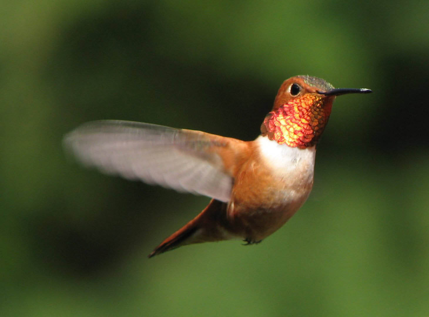 Fluttering, feathery hummingbirds can come to your California yard
