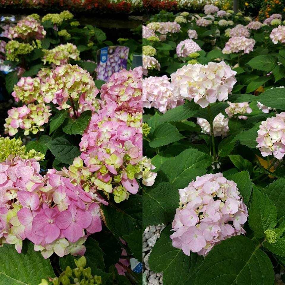 Hydrangeas at Kelli Green Garden Center in Marietta, GA
