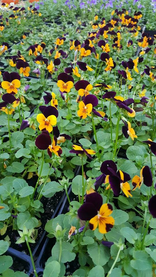 Kelli Green Garden Center carries annuals, perennials, vegetable starters, and more