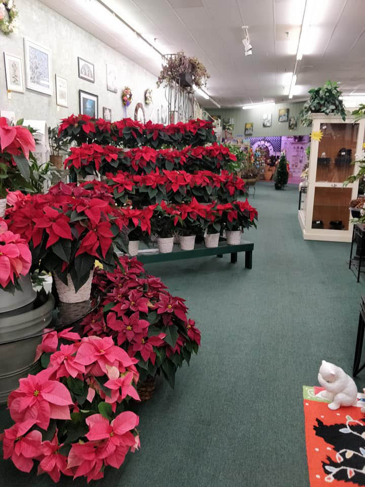 holiday plants poinsettias