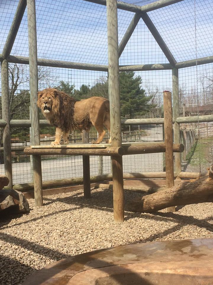 Lion during feeding time at Lake Tobias