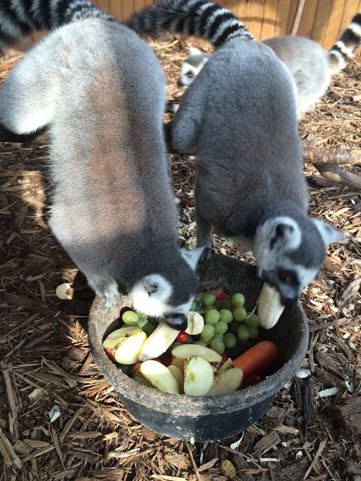 Lemurs enjoying dinner near Enders, PA