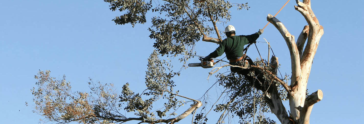 Man at top of tree with chain saw, cutting tree branches banner