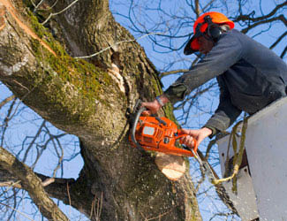 Picture of Louisville Mulch & Tree Care Inc tree care expert with chainsaw cutting branches from tree