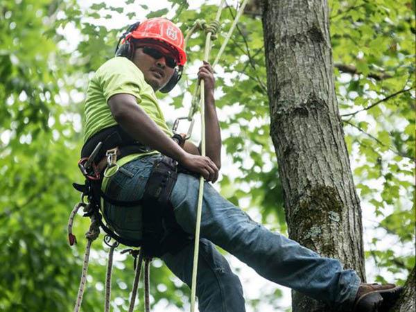 Monster Tree Service tree climber