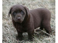 petland, pets, dogs, cats, hamster, bird, kansas city, Olathe pet store, animals, companion, chocolate lab, puppy, pup for sale, adoption