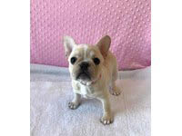 petland, pets, dogs, cats, hamster, bird, kansas city, Olathe pet store, animals, companion, french bulldog, puppy, pup for sale, adoption