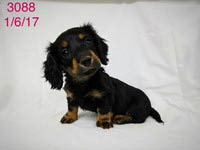 petland, pets, dogs, cats, hamster, bird, kansas city, Olathe pet store, animals, companion, dachshund, puppy, pup for sale, adoption