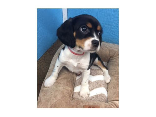 petland, pets, dogs, cats, hamster, bird, kansas city, Olathe pet store, animals, companion, beagle, puppy, pup for sale, adoption