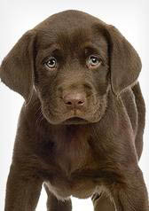 Chocolate lab puppies - who could resist