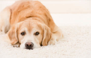 Carpet pet stain removal service that is non-toxic