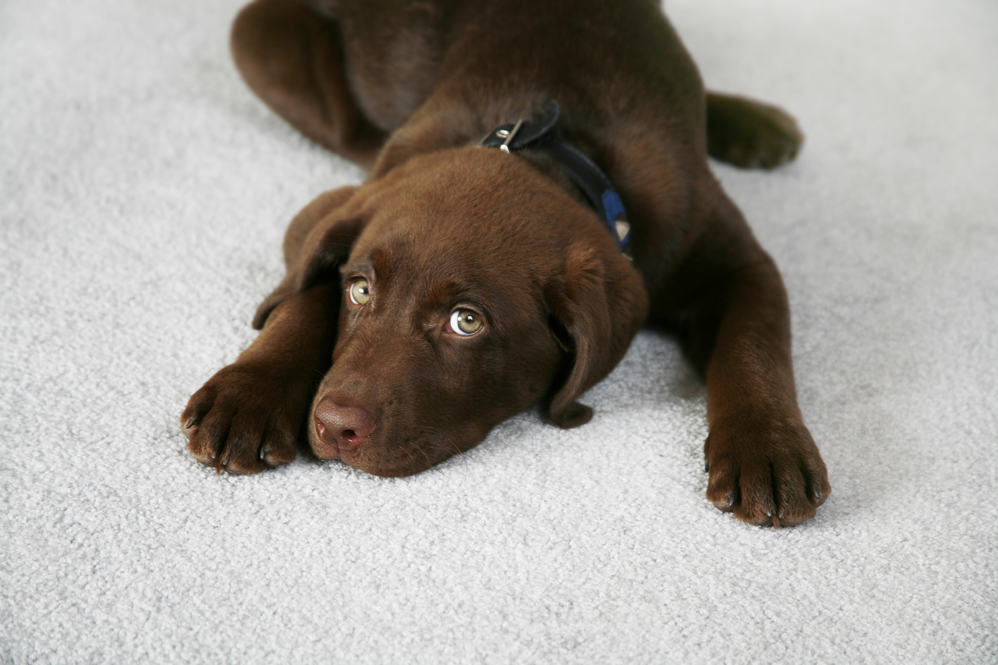 Pet Stain Removal, Refresh your carpets, Carpet cleaners near me