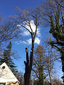 tree service, removal, prunning, removing deadwood, shading, clean up; serving va, md and dc