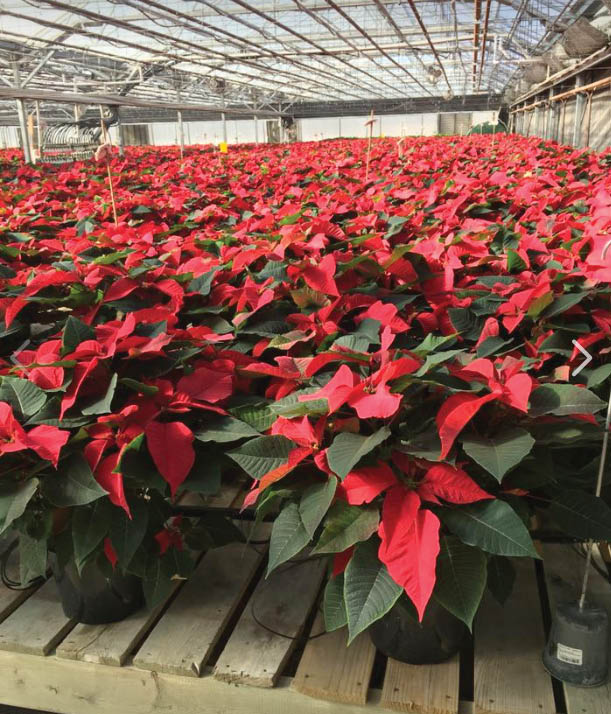 Poinsettias make the perfect house plants for the winter season
