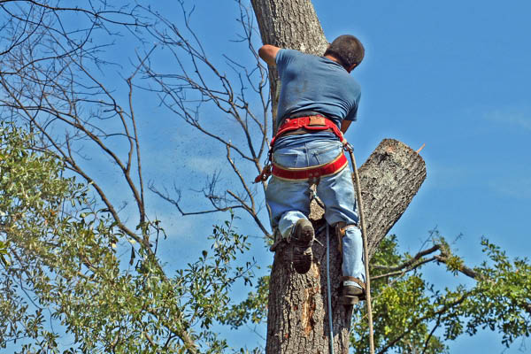 Pro's Mulch and Tree Service climbing and cutting