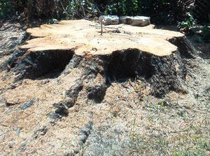 stump removal pete & ron's tree service, inc. hillsborough county & pinellas county fl