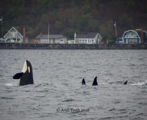 Orcas playing in the water