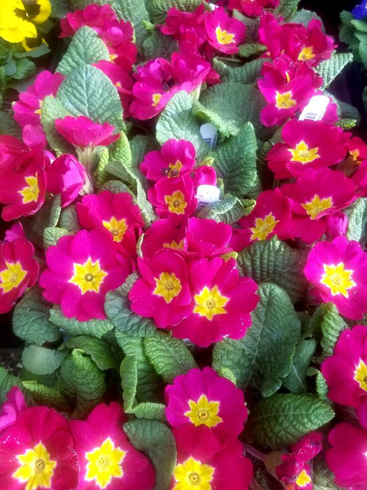 pink flowers with yellow center
