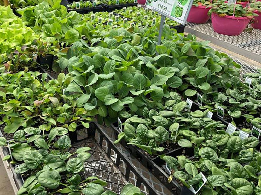 Straders Garden Centers shrubs