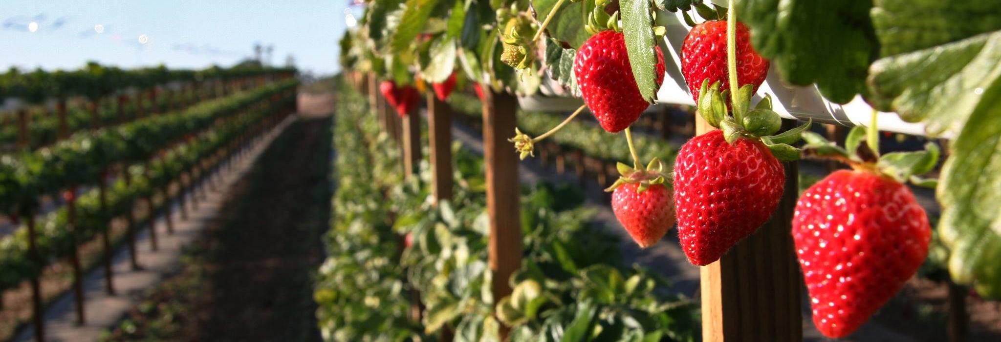 tanaka farms irvine ca fresh strawberries orange county ca