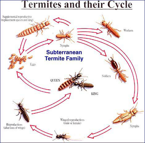 termite life cycle from opc pest control termite services in lexington, ky