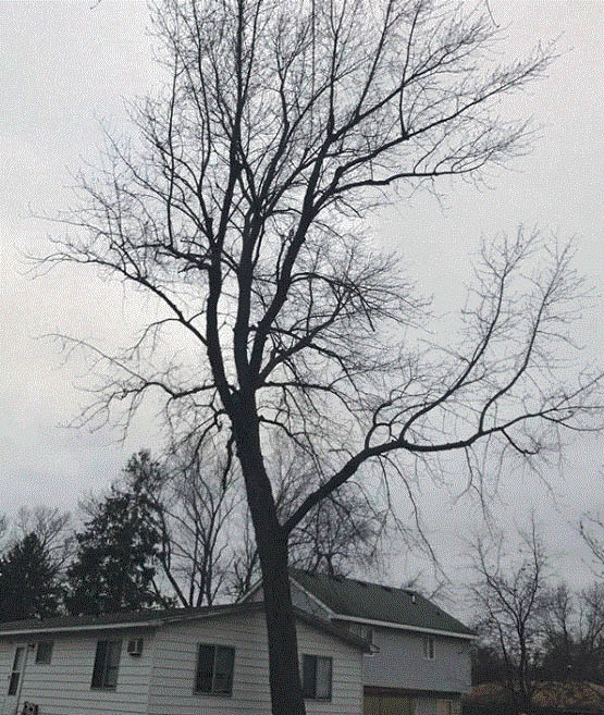 Tree that needs to be removed by Top Tree Care in Waterford, MI