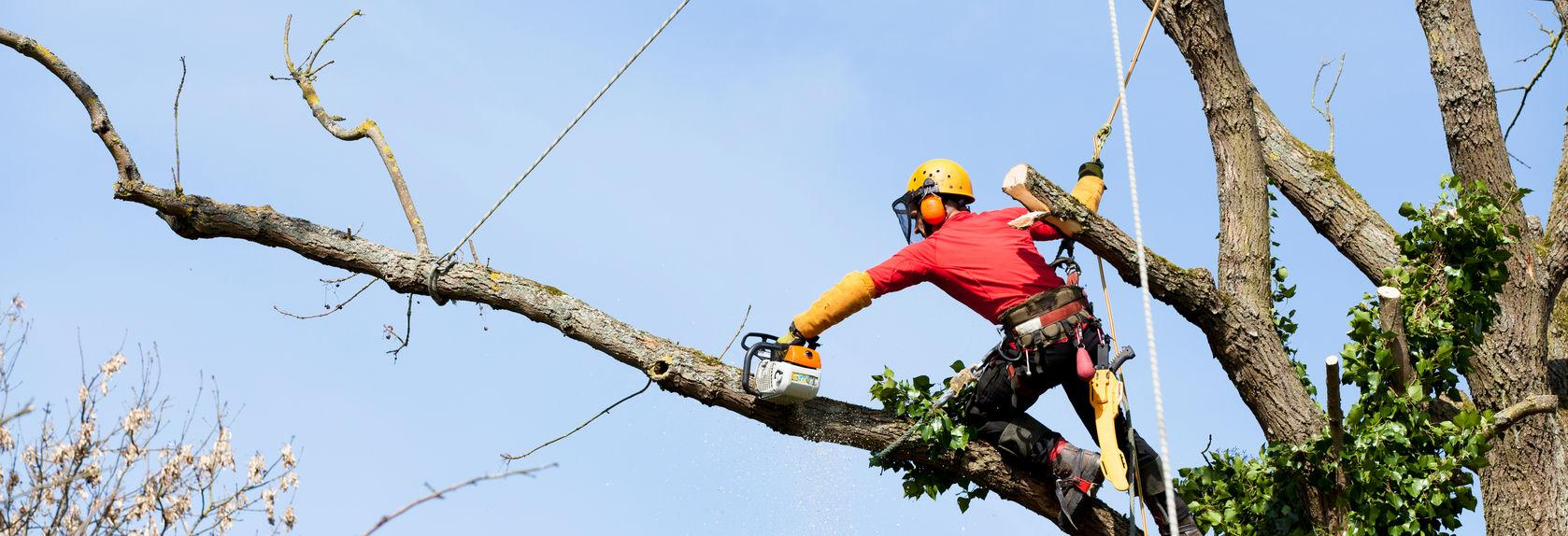 Tree trimmer cutting branch high in tree. Call Meca Tree Services today.
