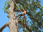 Limb pruning and entire tree and stump removal from F.M. Tree Services, Houston