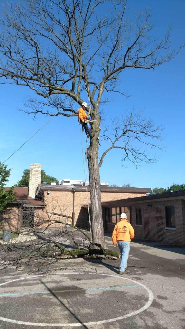 tree trimming in the North Shore; Chicago, IL arborists