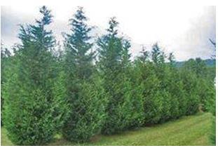tree trimming, tree removal, tree pruning, tree cutting,pruning,trimming,savings