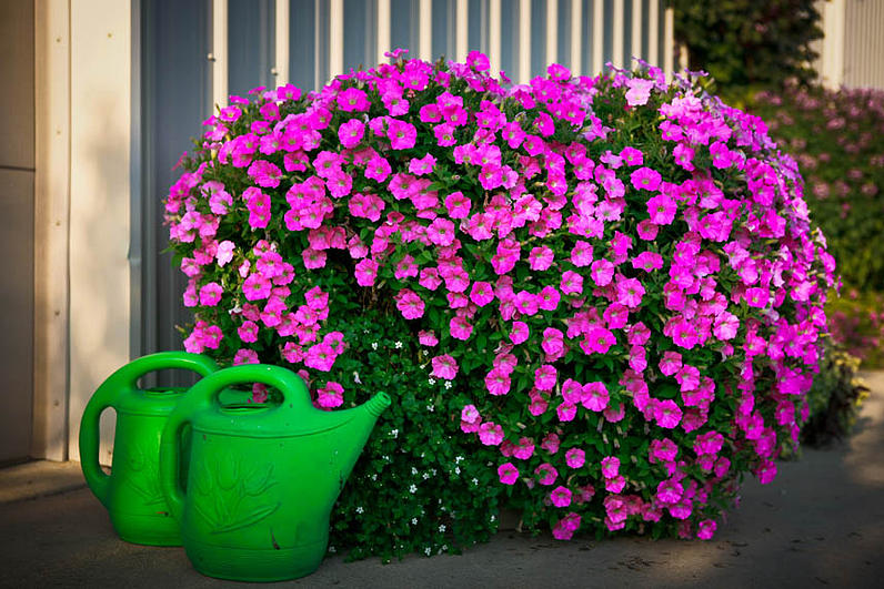 Pot of purple flowers and a green watering pot