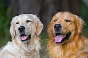 Two golden retrievers straw and gold